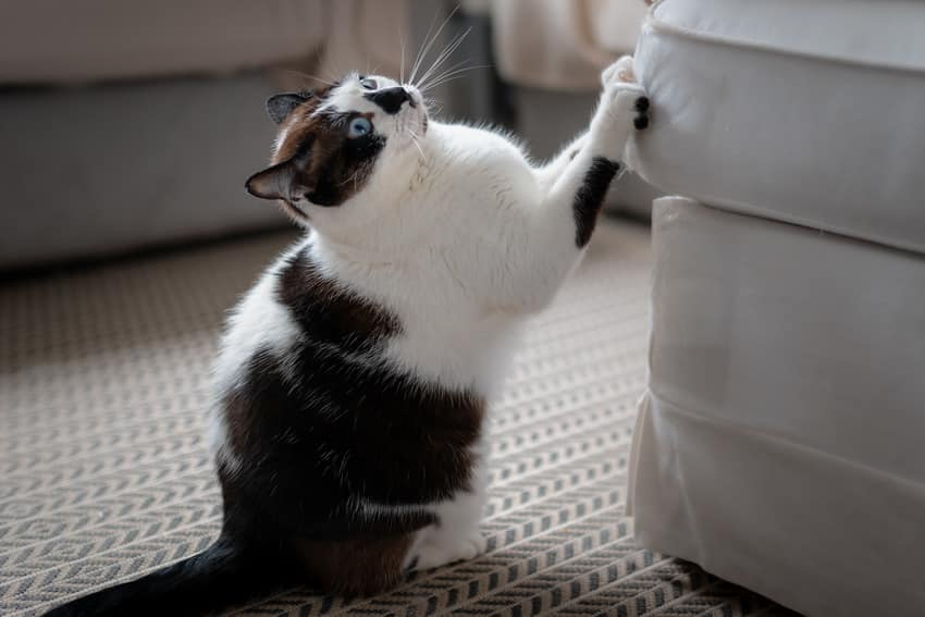 Cat clawing on furniture
