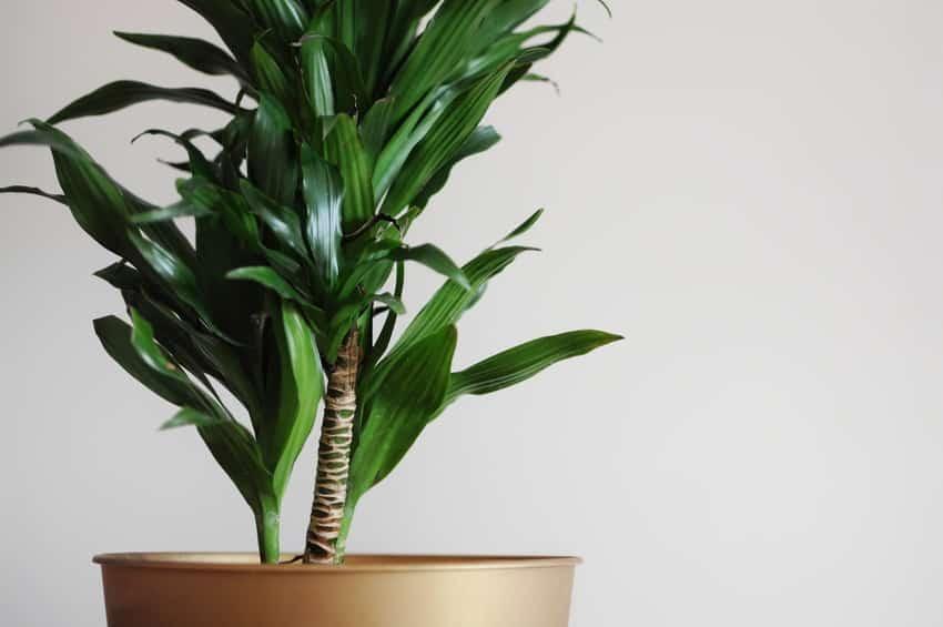 Close up of dracaena home plant