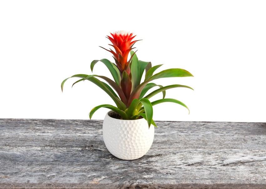 Guzmania petite bromeliad in a white pot