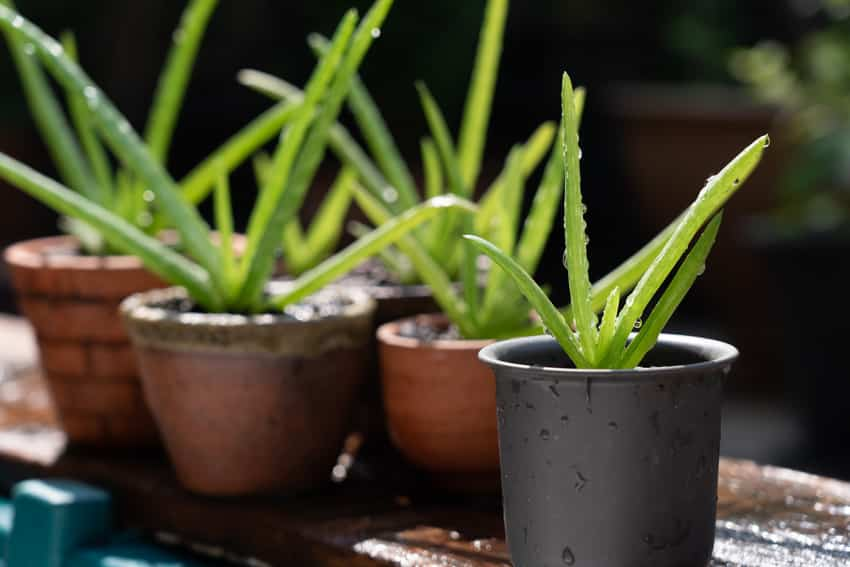 Newly watered potted aloe vera plants