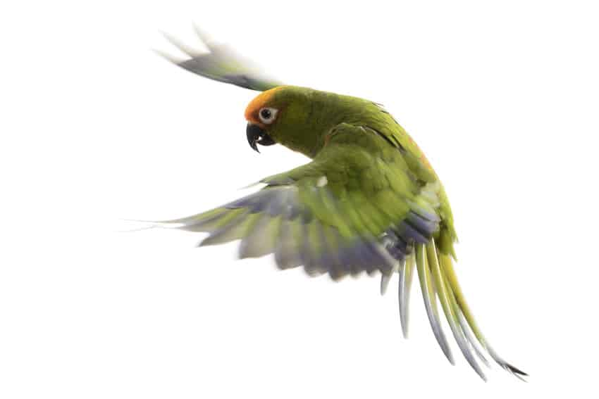 Paradise gold capped conure flying isolated against white backdrop