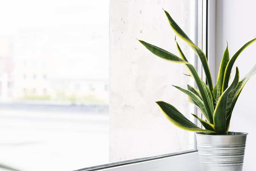 Snake plant in a pot on the windowsill
