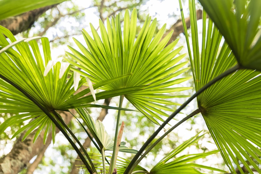Chinese fan palm leaves
