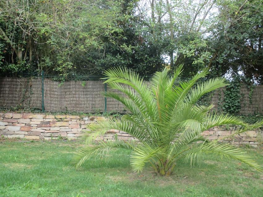 Dwarf majesty palm plant