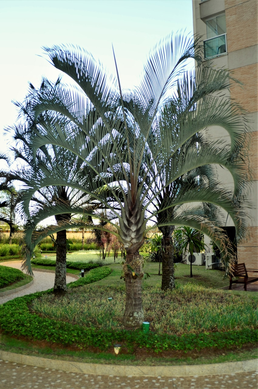 Dypsis decaryi triangle palm