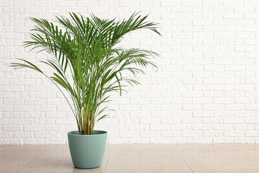 Kentia areca palm tree