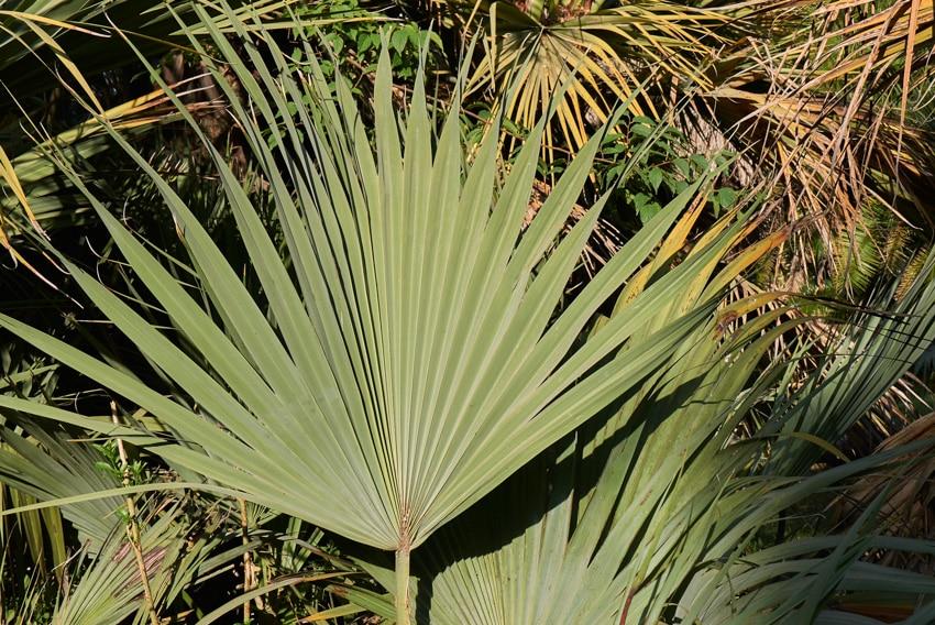 Mazari palm plant