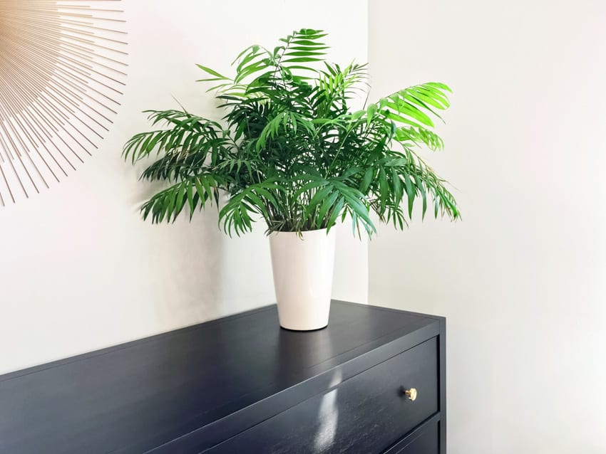 Parlor palm plant in pot