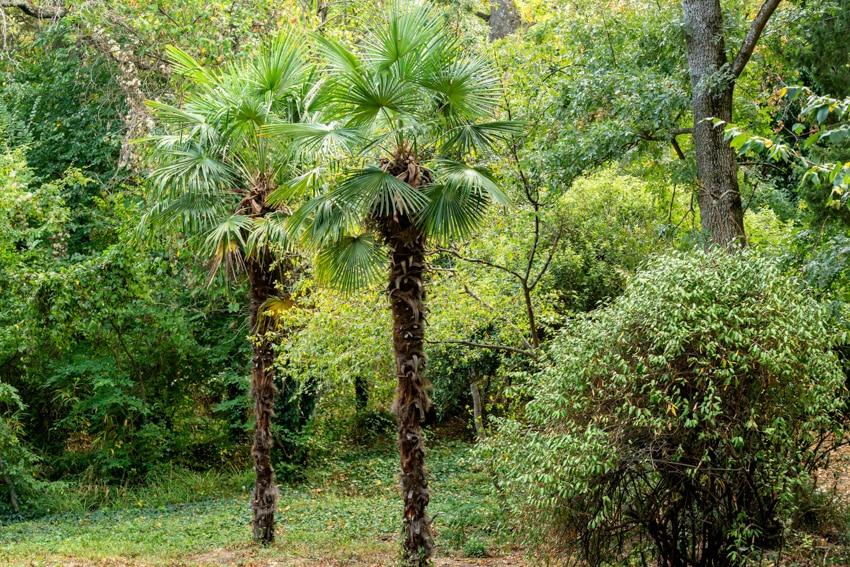 Windmill palm trees
