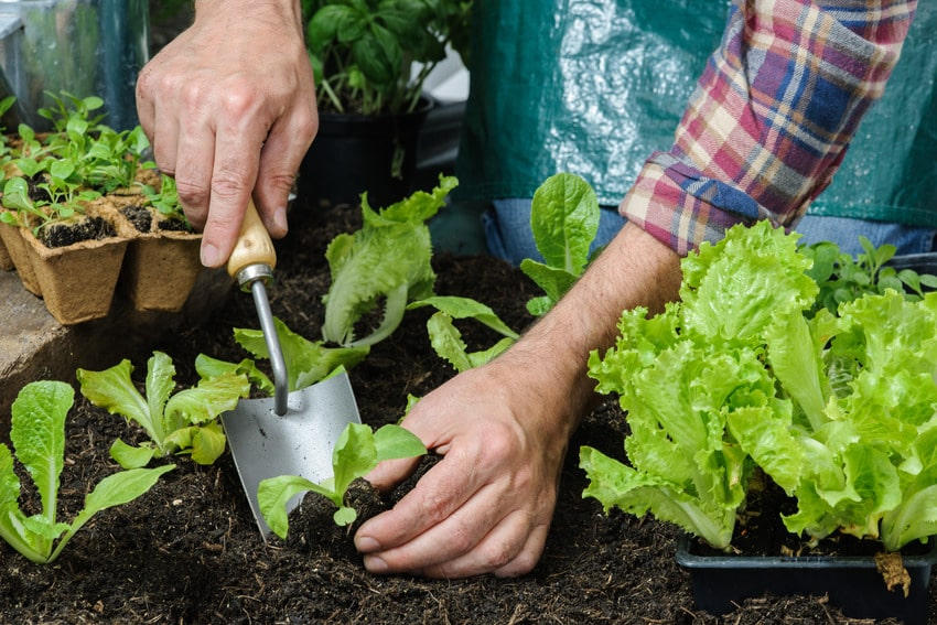Farmer planting young seedlings in greenhouse