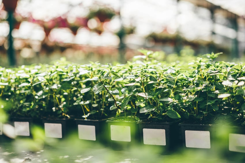 Fresh green aromatic mint seedlings with lush leaves