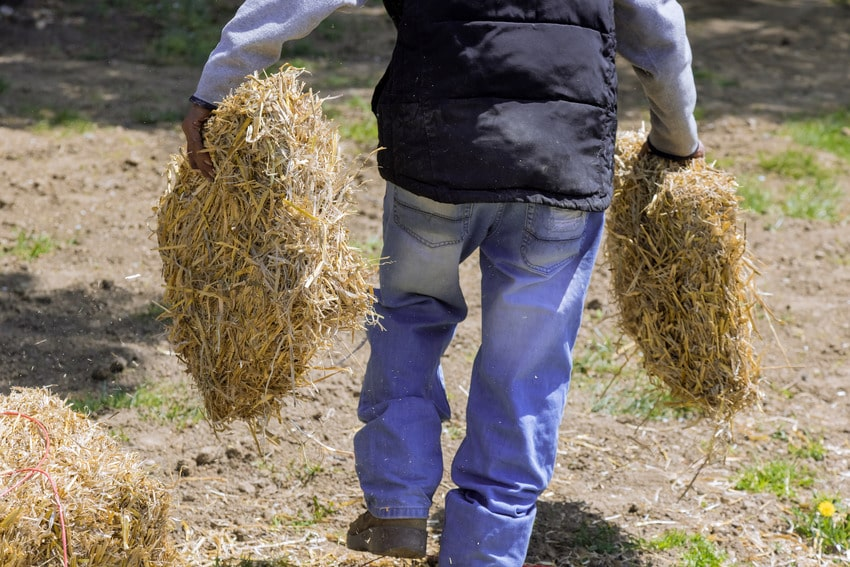 Landscaper scattering straw in a residential property