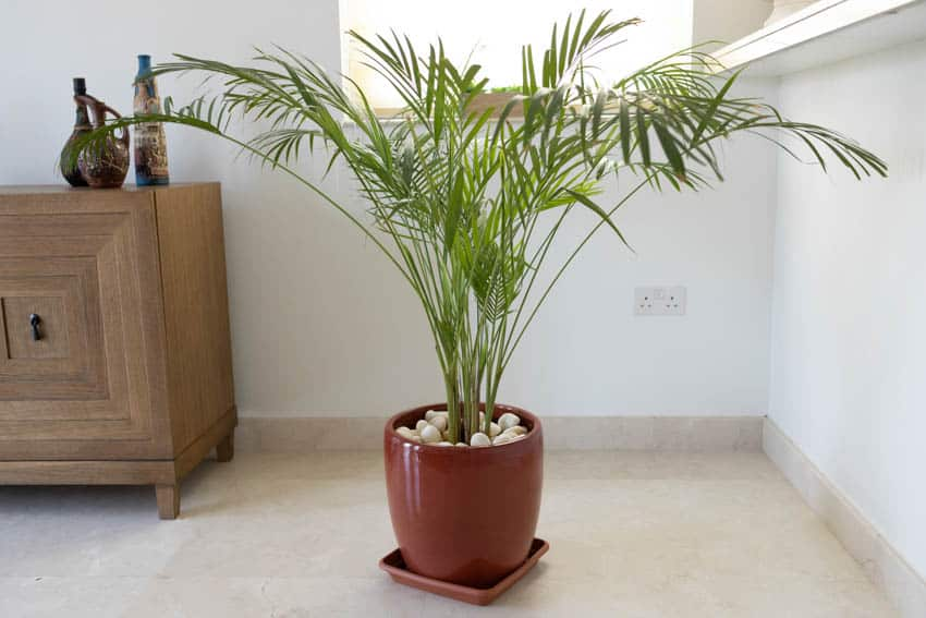 Parlor palm indoor