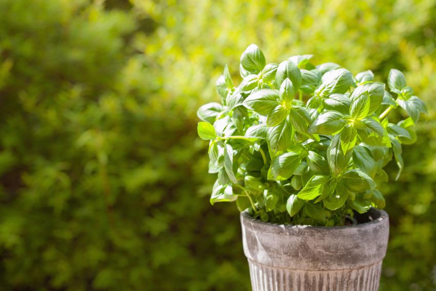 Basil plant inside pot