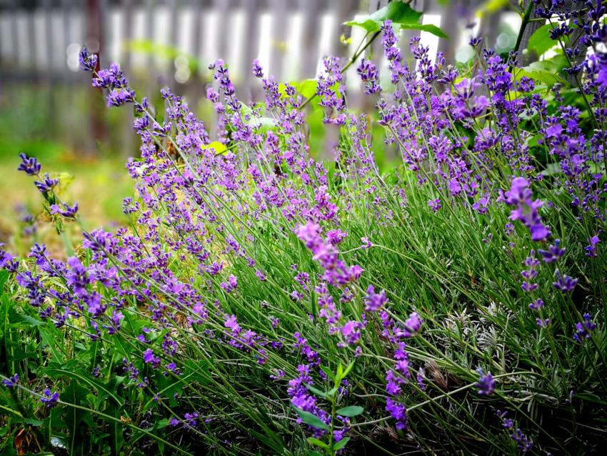 Lavender plants garden
