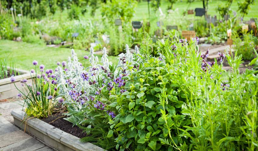 Lavender rosemary mint catnip plants garden