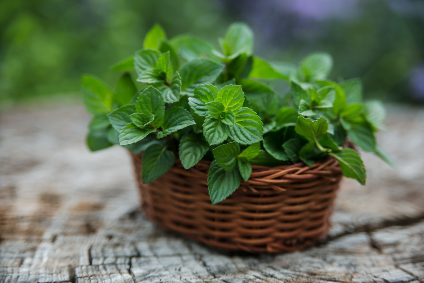 Mint plant inside wooden container