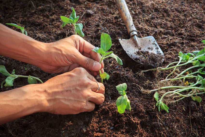 Planting sunflowers into the ground shovel