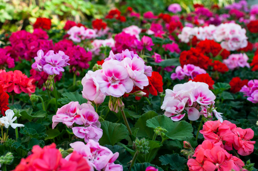 Red and pink geranium flowers